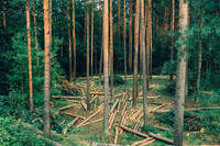 A forest where some pines have been logged and some retained.