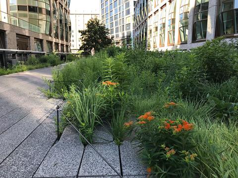 High Line native plantings NYC