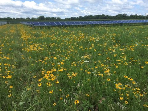 Plants that attrct pollinator species with solar panels